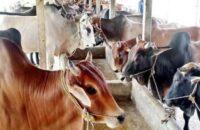 কাউখালীতে অনলাইন পশুর হাটে সাড়া নেই ক্রেতা বিক্রেতাদের