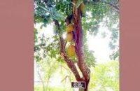 কুয়াকাটায় প্রধানমন্ত্রীর লাগানো গাছে চারটি কাঁঠাল