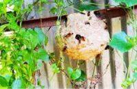 ভিমরুলের কামড়ে প্রাণ গেলো ৮০ বছরের বৃদ্ধার